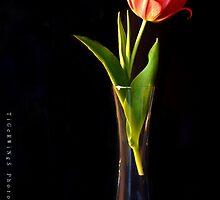 Vintage Tulip  by tigerwings