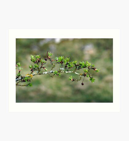Hawthorn Buds (near Peebles) Art Print