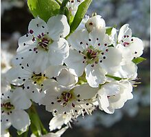 Pear Blossoms (2) Photographic Print