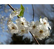 Pear Blossoms 3 Photographic Print