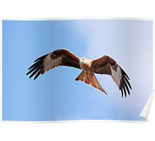 Red Kite in flight Poster
