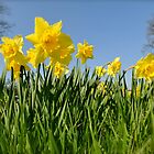 Daffodils in spring by Pete  Burton