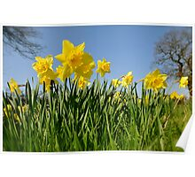 Daffodils in spring Poster