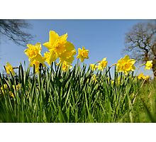 Daffodils in spring Photographic Print