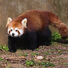 Red Panda by Elaine123