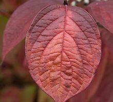 Red Dogwood Leaf by Rod J Wood