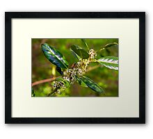 Holly Blossoms with Honeybee Framed Print