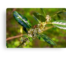 Holly Blossoms with Honeybee Canvas Print