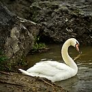 Morning Swan by Jeff Palm Photography