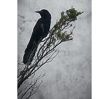 Crow in Cedar Photographic Print