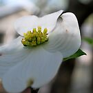 Dogwood by Tracey Hampton