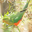 Australian King Parrot at Sheepyard Flat #2 by Aden Brown