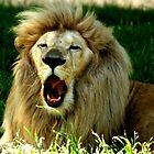 Lion by pcfyi