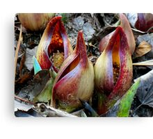 Skunk Cabbage - Spathe With Spadix  Canvas Print