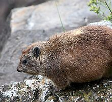 Hyrax by Carole-Anne