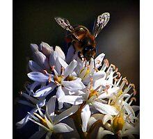 Bee collecting pollen - Van Dusen Botantical Garden Photographic Print