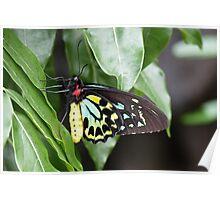 Male Birdwing Butterfly Poster