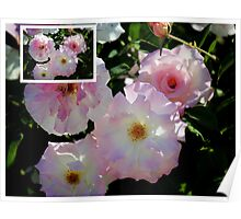 Collage of Olde Worlde Pink Roses Poster