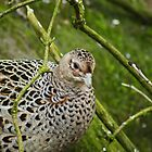 Hen Pheasant by VoluntaryRanger