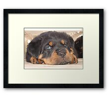 Adorable Rottweiler Puppy With Blue Eyes Framed Print