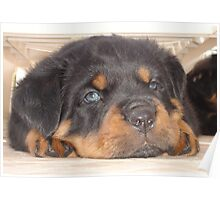 Adorable Rottweiler Puppy With Blue Eyes Poster