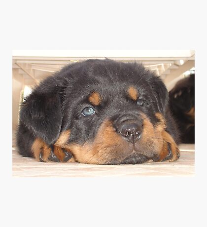 Adorable Rottweiler Puppy With Blue Eyes Photographic Print
