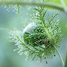 Bush Passionfruit by MiloAddict