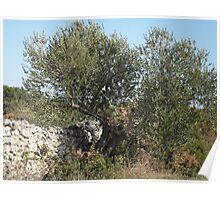 Dalmatian Olive Tree Poster