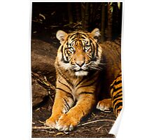 Tigers- Melbourne Zoo Poster