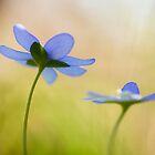 Hepatica nobilis by Max Franceschini