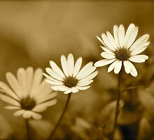 Sepia Dasies by Alison Hill