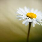 Bellis perennis by Max Franceschini