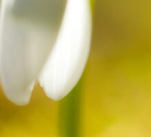Galanthus nivalis by Max Franceschini