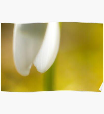 Galanthus nivalis Poster