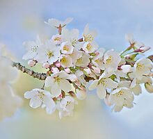 Blossom in  spring by Jacky Parker