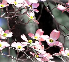 Pink Dogwoods by Scott Mitchell
