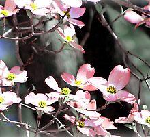 Pink Dogwoods by Scott Mitchell