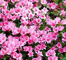 Pink Azaleas - greeting card - no text by Scott Mitchell