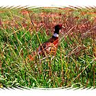 Kansas Pheasant by Tyler Elbert