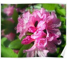 Rhododendron Bloom 2 Poster