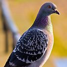 Pidgeon, in the Summer light of day. by Mark Battista