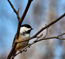 Chickadee by Richard Lee