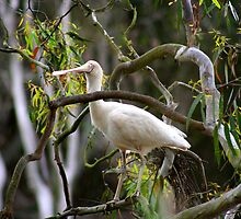 Yellow Billed Spoonbill by Jeff Hobbs