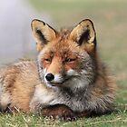 Red fox 3405 by DutchLumix