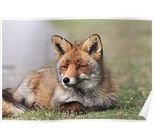 Red fox 3405 Poster