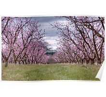 Clouded Cherry Blossoms Poster