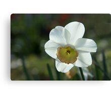 Shining Daffodil Canvas Print