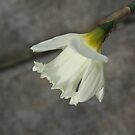 Single Daffodil by teresalynwillis