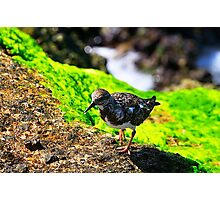 Least Sandpiper on Moss Covered Rock Photographic Print
