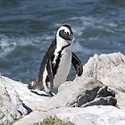 African Penguin by croust